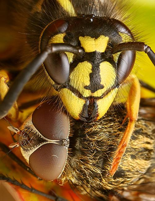 Makrofotografie von Insekten: Predator