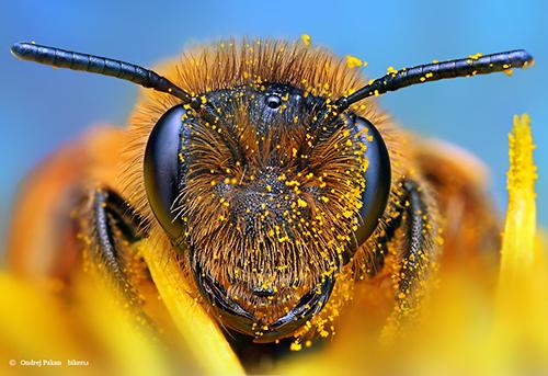 Makrofotografie von Insekten: Bee