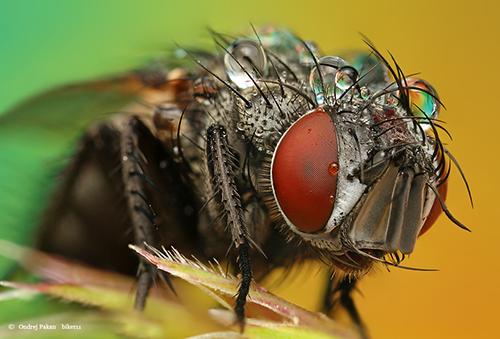 Makrofotografie von Insekten: Fly