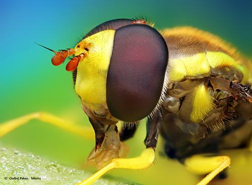 Makrofotografie von Insekten OO